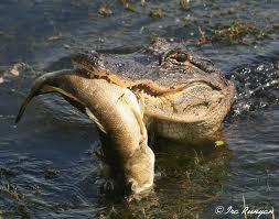 gator fish